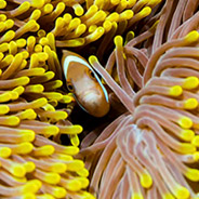 Clown fish and sea anemoness - Chagos